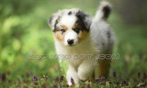 توله سگ پاپی