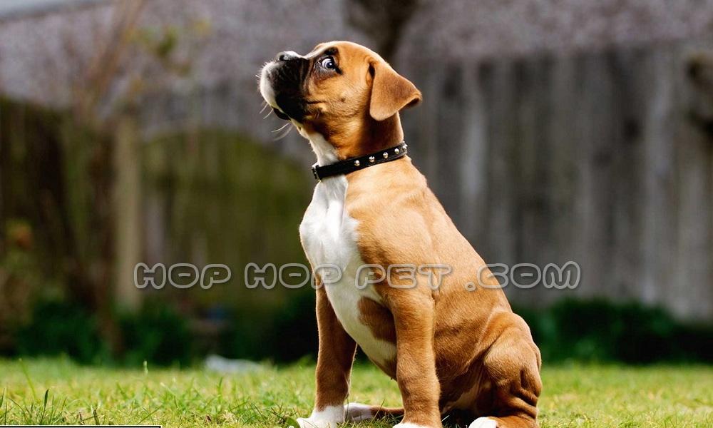سگ باکس گارد