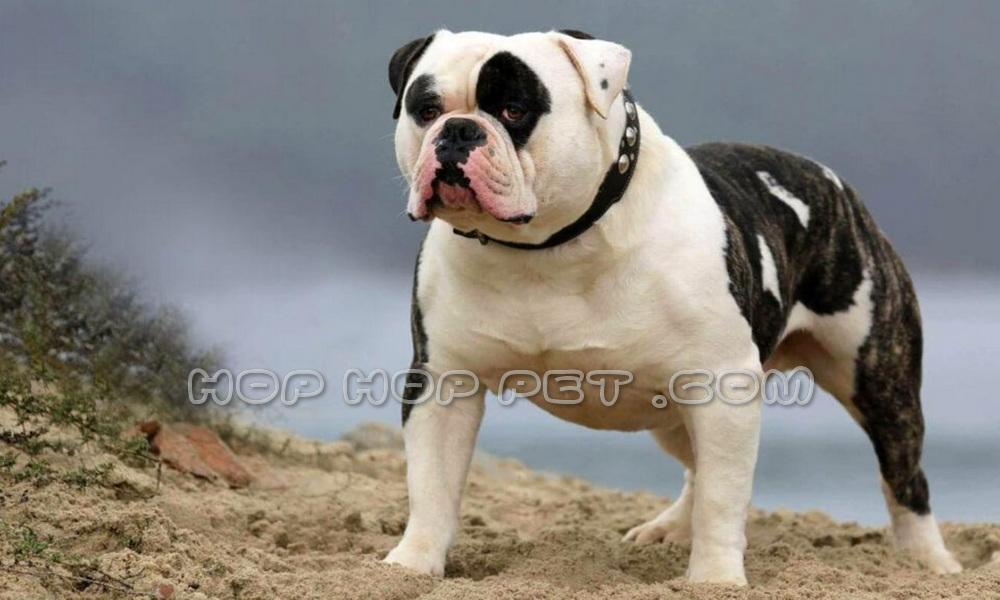 سگ بولداگ نگهبانی