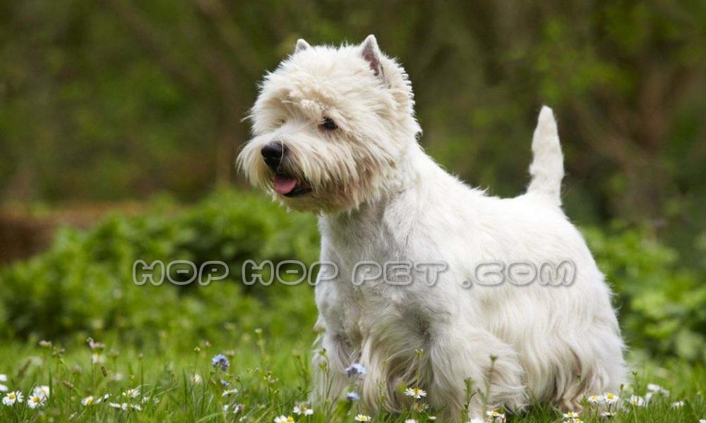 سگ تریر