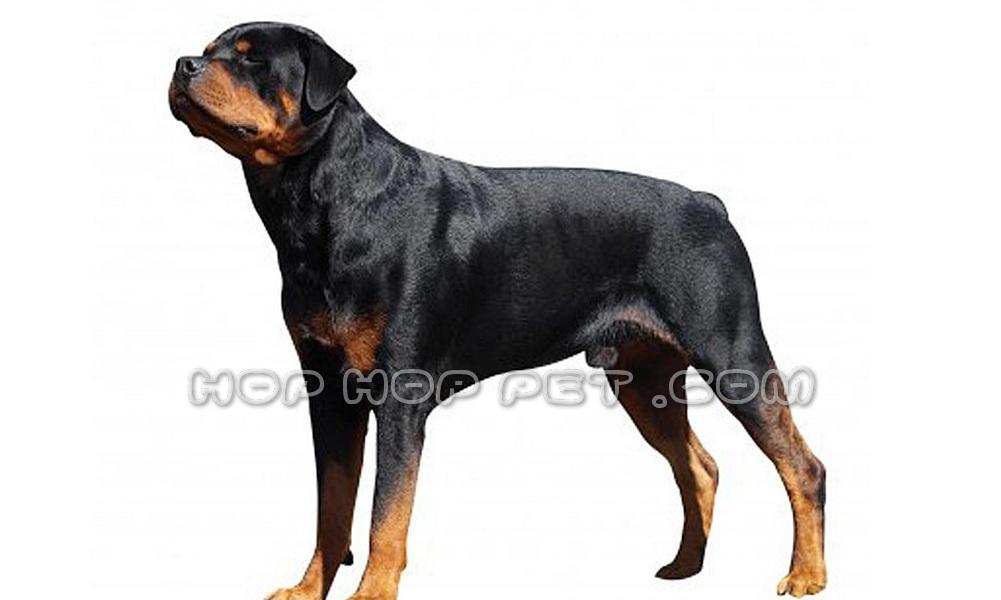 سگ نگهبانی روت وایلر