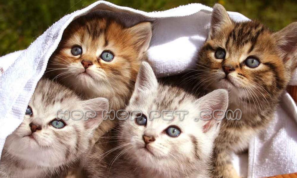فروش توله گربه