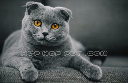 گربه اسکاتیش