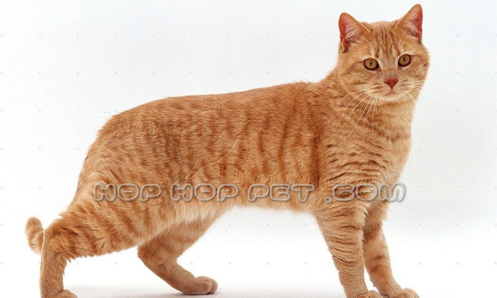 گربه مو کوتاه بریتیش