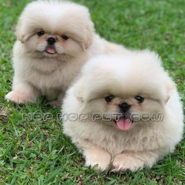 سگ امپریال