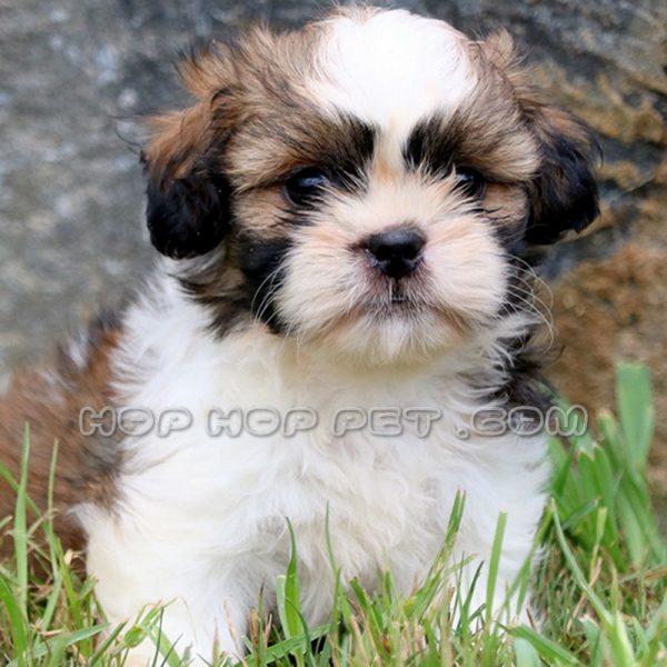 سگ شیتزو فلت