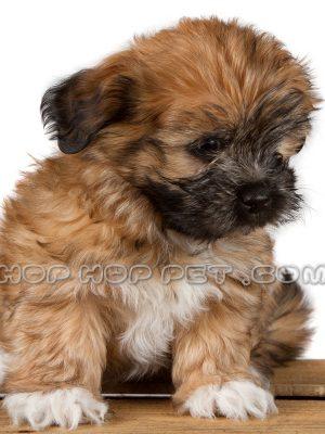 سگ شیتزو پودل