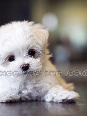 سگ شیتزو canine