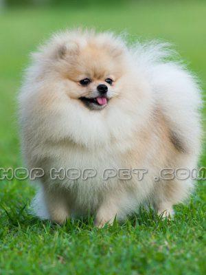 سگ پامر اشپیتز