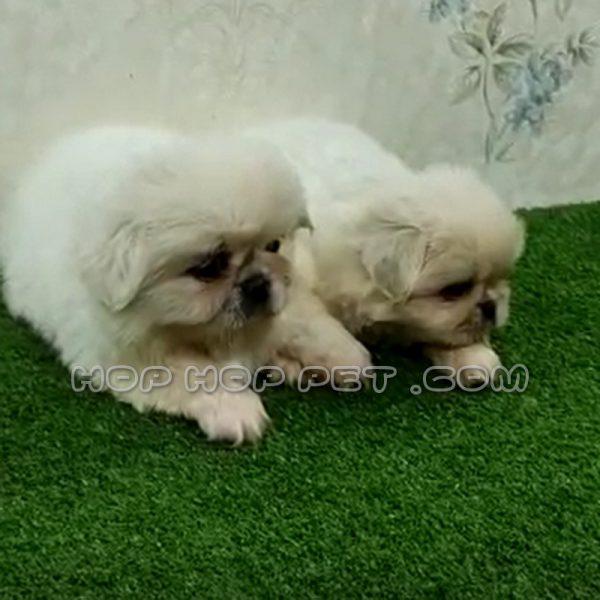 توله سگ پیکینیز دو ماهه