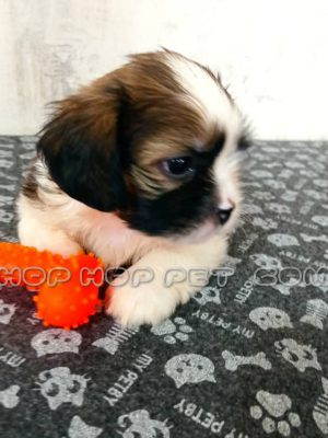 سگ شیتزو سه ماهه