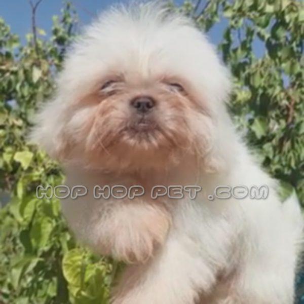 سگ شیتزو سوپر فلت ماده