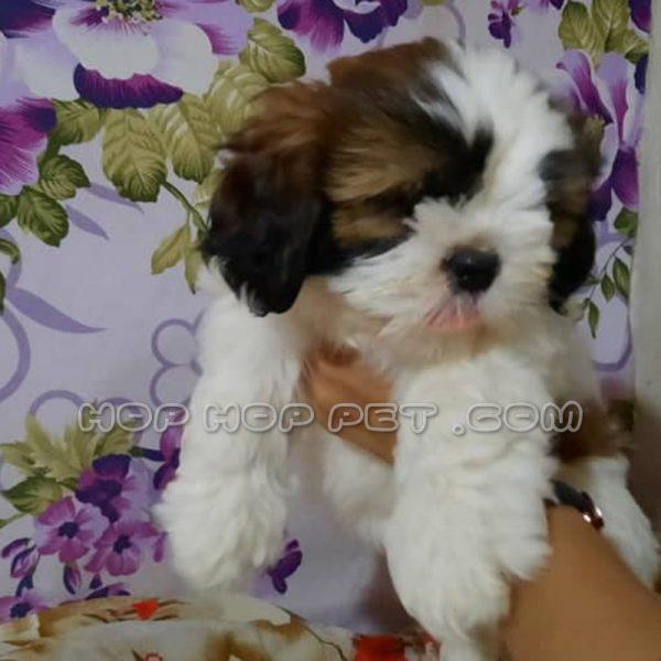 سگ شیتزو سوپر فلت