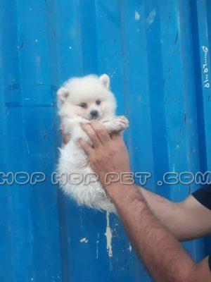 سگ پامرانین خرسی سفید و مشکی