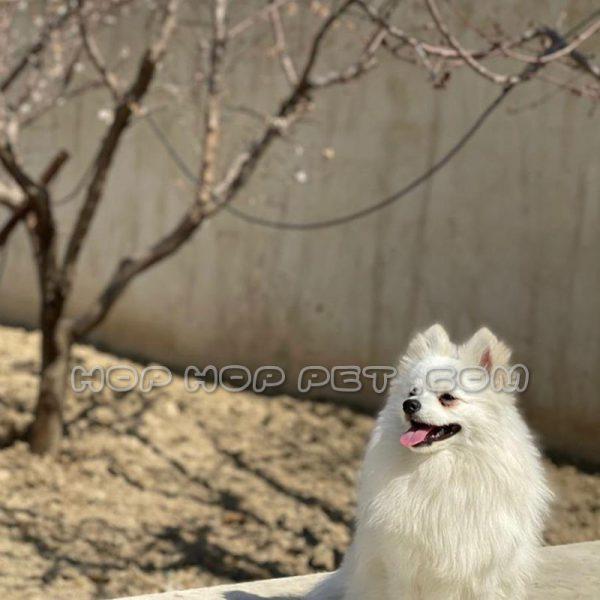 سگ پامرانین نر دو ساله
