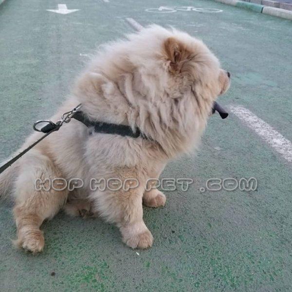 سگ چاو چاو نر دو ساله
