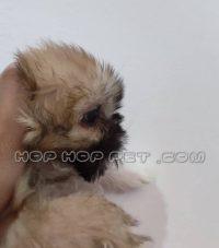 توله سگ شیتزو سه ماهه نر و ماده (۲)