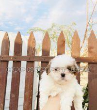 توله سگ مالتیز سفید (۸)