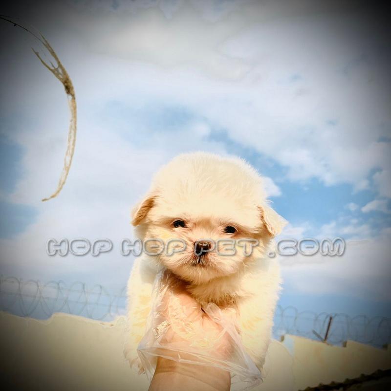 توله سگ مالتیز سفید