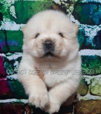 توله سگ چاو چاو خالص نر و ماده ۴۵ روزه (۱)