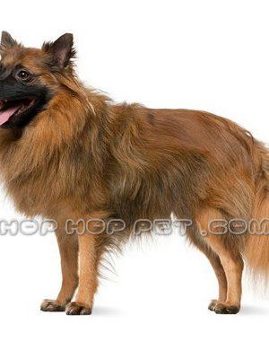 سگ اشپیتز قهوه ای