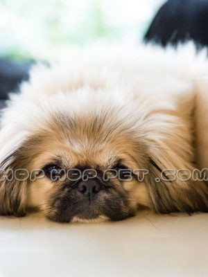 سگ امپریال نر پیکینز سوپر فلت طلایی سه ماهه