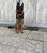 سگ نگهبان گارد ژرمن (۲)