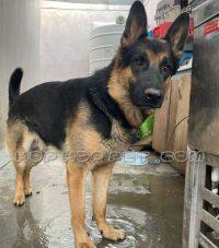 سگ نگهبان گارد ژرمن